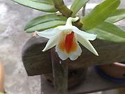 white Orchids blossom