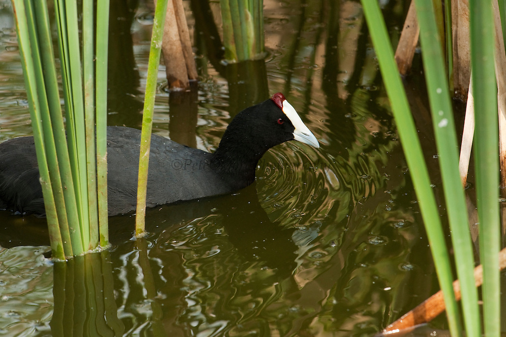 Red-knobbed Coot or Crested Coot (Fulica cristata)<br /> CAPTIVE, ENDANGERED SPECIES.<br /> Cañada de los Pájaros Reserve where they have a breeding program.<br /> near Doñana National & Natural Park. Huelva Province, Andalusia. SPAIN<br /> The marshlands in particular are a very important area for the migration, breeding and wintering of European and African birds. It is also an area of old cultures, traditions and human uses - most of which are still in existance.