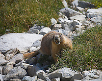 Marmot,  Sierra Mountains, California.