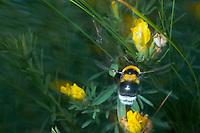 Bumblebee Bombus sp. near adurea Domnesca in Moldova
