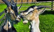 Kozy w Muzeum Kultury Ludowej - Park Etnograficzny w Węgorzewie
