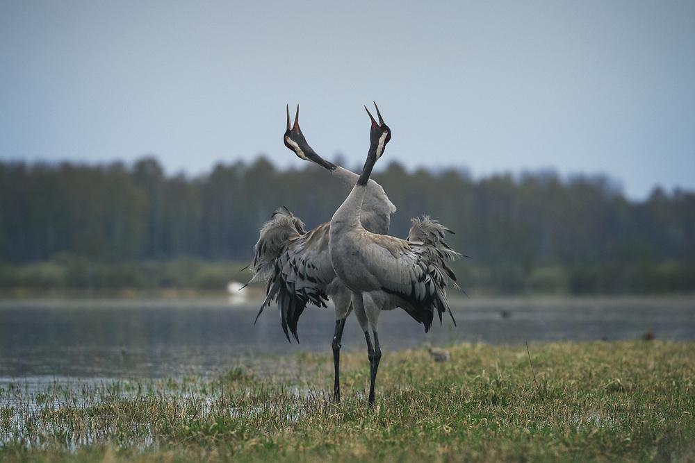 "A pair of common cranes (Grus grus) singing in courtship ritual, nature park ""Dvietes paliene"", Latvia Ⓒ Davis Ulands | davisulands.com"