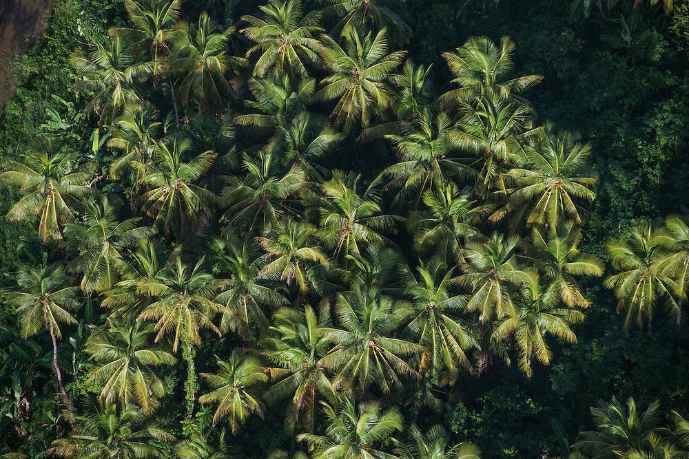 Coconut Palms (Cocos nucifera)<br /> Georgetown area<br /> GUYANA<br /> South America