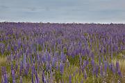 Velvet lupine (Lupinus leucophyllus) growing in prairie habitat near Condon, Oregon.