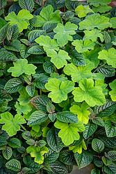 Shade pot combination. Plectranthus ciliatus 'Nico' and Pelargonium tomentosum