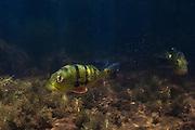 Peacock Bass (Cichla ocellaris)<br /> Karanambu<br /> Rupununi<br /> GUYANA<br /> South America