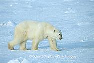01874-072.02 Polar Bear (Ursus maritimus) on the ice of Hudson Bay  Churchill MB