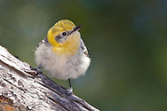 Olive Warbler - Peucedramus taeniatus - 1st spring male
