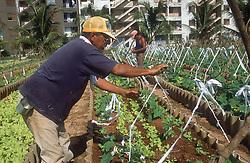 Man tying up courgette plants in the Rotonda de Cojimar organic garden or Organoponico in Havana; Cuba,