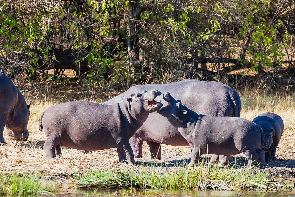 Two young male hippopotamus (Hippopotamus amphibious) play fighting on the bank of the river, Khwai River, Botswana