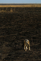 A Jackal on the scorched savanna of the Serengeti National Park, Tanzania