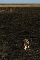 A Jackal on the scorched savanna of the Serengeti National Park, Tanzania