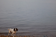Springer Spaniel waits fo a throw to chase in a winter scene on the Isle of Wight, UK.
