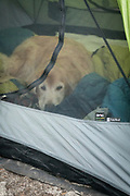 Dog (golden retriever) lying in tent, John Muir Wilderness, Inyo National Forest, California