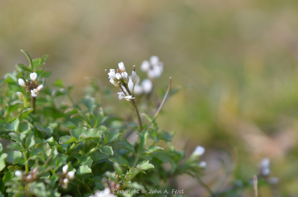 These tiny white flowers grow only a few inches off the ground.  D and R canal, Hillsborough, NJ