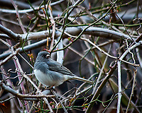 Dark-eyed junco in the vines. Late winter backyard nature in New Jersey. Image taken with a Nikon D300 camera and 80-400 mm VR lens (ISO 450, 400 mm, f/5.6, 1/250 sec).