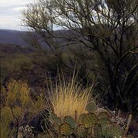 North America, USA, Arizona, Tucson. Saguaro National Park (East). Prickly Pear Cactus.