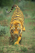 Bengal Tiger charging toward camera.