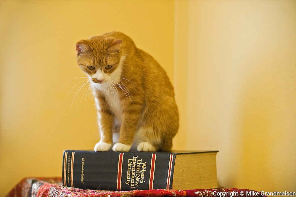 The 'literate cat'. House cat (tabby). <br /> Winnipeg<br /> Manitoba<br /> Canada