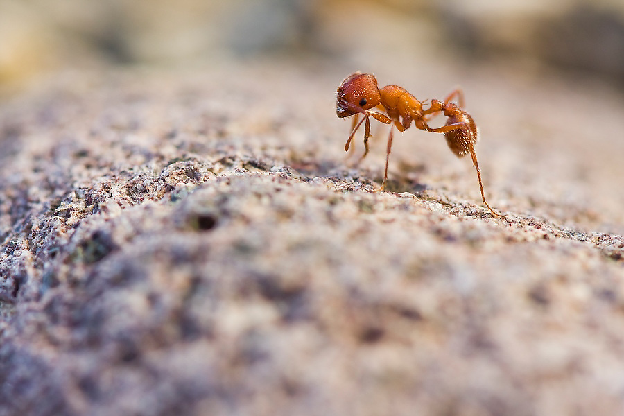 A lone red ant grooms itself, wiping its antennae with its front legs on the shore of the Truckee River at Lockwood, near Reno, Nevada on February 16, 2010. The site is one of three properties so far restored in a nine-year, eight-and-a-half-mile, $20 million effort by the Nature Conservancy to revitalize the river ecosystem of the lower Truckee River.