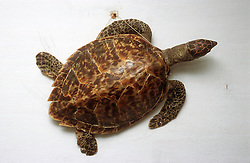Shell of a turtle mounted on a wall as a decoration in a Cuban house,