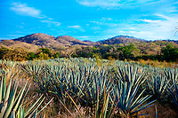 Agave plants, Los Osuna Agave Distillery, near La Noria (near Mazatlan), Sinaloa, Mexico