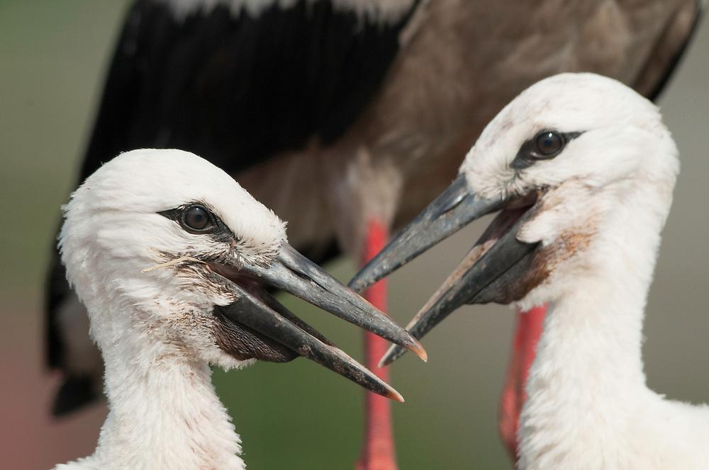 White Stork (Ciconia Ciconia) babies around Prypiat area, Turov, Belarus
