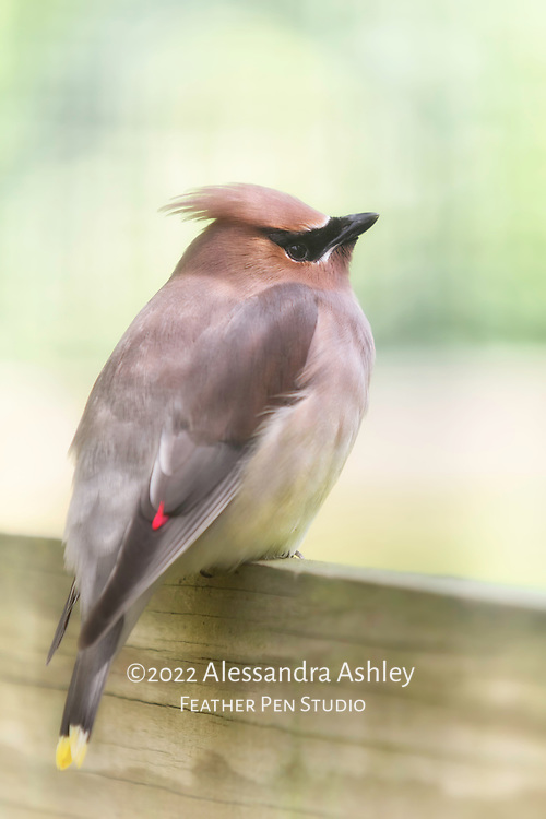Cedar waxwing perched in warm sunlight, showing red wing tip.