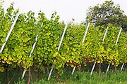 gewurztraminer vineyard domaine gerard neumeyer alsace france