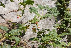 Alpenbes, Ribes alpinum