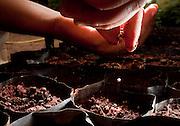 Formiga_MG, Brasil...Projeto Semeando Vidas da FEAMA - Fundacao Educacional, Assistencial e de Protecao ao Meio Ambiente. O projeto alia assistencia social a meio ambiente ao proporcionar a detentos a possibilidade de trabalhar em um ambiente digno, lidando com mudas de especies nativas do cerrado para projetos de reflorestamento...Semeando Vidas project FEAMA -  Educational Foundation, Assistance and Environmental Protection. The project combines social assistance and environment to provide inmates the opportunity to work  with seedlings of native Cerrado for reforestation projects...Foto: LEO DRUMOND / NITRO