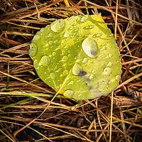 Fresh raindrops dot a fallen aspen leaf in the early morning sunlight.