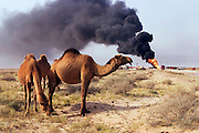 Hundreds of camels graze around the oil well fire in the Rumaila field being worked on by Boots and Coots. The Rumaila field is one of Iraq's biggest oil fields with five billion barrels in reserve. Many of the wells are 10,000 feet deep and produce huge volumes of oil and gas under tremendous pressure, which makes capping them very difficult and dangerous. Rumaila is also spelled Rumeilah.