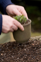 Repotting and dividing a hepatica.<br /> Gently tapping pot on bench to firm in and settle the compost