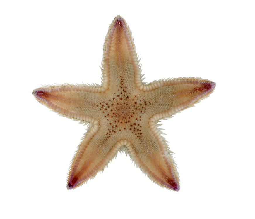 Sand Star - Astropecten irregularis