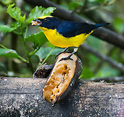This bird is probably a Thick-billed Euphonia (Euphonia laniirostris), a species in the family Fringillidae (formerly placed in the Thraupidae family). Euphonia laniirostris is found in Bolivia, Brazil, Colombia, Costa Rica, Ecuador, Panama, Peru, and Venezuela. Its natural habitats are subtropical or tropical dry forests, subtropical or tropical moist lowland forests, and heavily degraded former forest. The bird was photographed in the lower elevations (about 1400 meters) of Bellavista Cloud Forest Reserve, near Quito, Ecuador, South America. It has a bright yellow belly, yellow crown, and blue-black upper feathers and tail. It stands on a ripe banana and fills its beak to satisfaction.