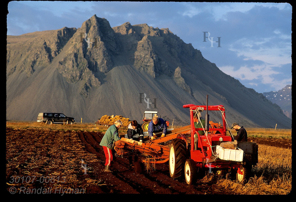 Farmers and their wives harvest potatoes in loamy soil along south coast of Snaefellsnes peninsula on a September eve; Iceland.
