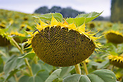 Sunflower, Gascony, France