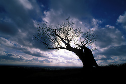 Ancient old tree silhouetted against a dramatic storm filled sky, Bradgate Country Park, Leicestershire, England, UK.