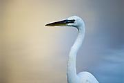 Great White Heron, Florida Keys