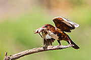 White-throated Kingfisher (Halcyon smyrnensis) with a lizard in its beak, Photographed in Israel
