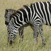 Burchell's Zebra (Equus burchelli) mother with its young in Serengeti National Park, Tanzania, Africa.