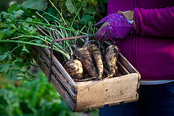 Lifting parsnips - Pastinaca sativa - after the first frosts