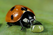 7 Spot Ladybird, coccinella septempunctata, adult on leaf drinking water drop, rain, seven, red with black spots