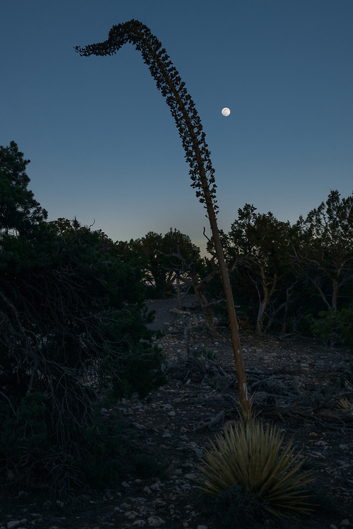 Agave by Moonlight