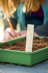 Sowing tomatoes in a seed tray - labelling