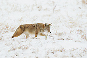 Stock photo of Coyote captured in Colorado.  Despite a growing human population, coyote numbers continue to increase.