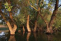 Danube Delta, Salix riverine forest, Romania. May 2009 <br /> Mission: Danube Delta