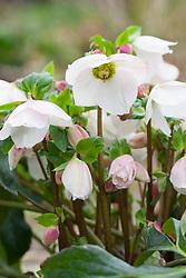Helleborus 'Marshmallow'
