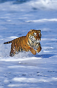 Image of a leaping bengal tiger, panthera tigris tigris, property released by Randy Wells
